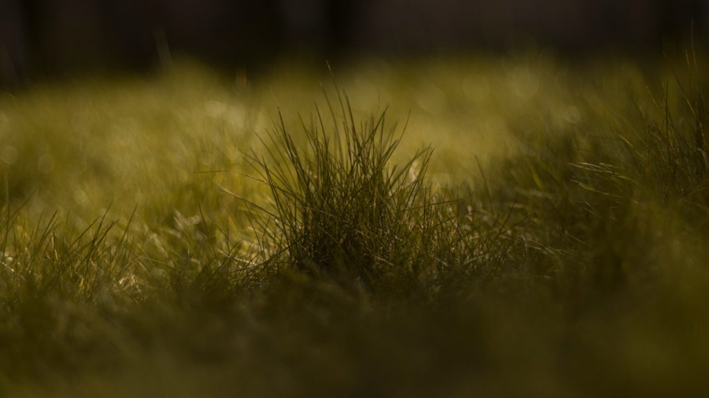 Photograph of grass with the blades closest to the frame are in shadow and silhouetted against the sunny lawn visible in the background. Taken by Jodie Sherell in 2020.