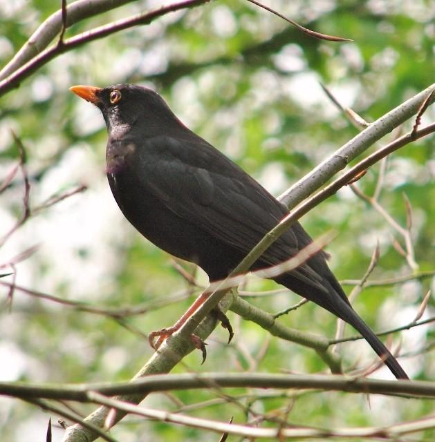 blackbird perched on a branch