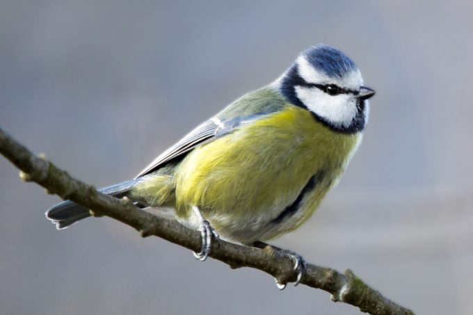 blue tit perched on a branch