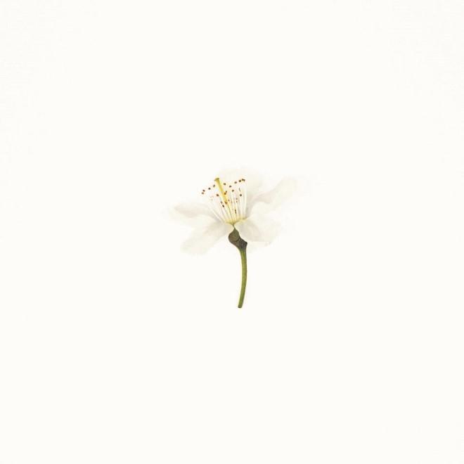 Burcome Cherry Blossom